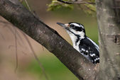 Hairy Woodpecker Crouched in a Tree — Stock Photo