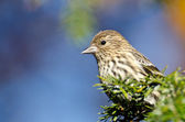 Pine Siskin Perched on Evergreen Tree — Stock Photo