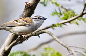 Chipping Sparrow Perched in a Tree — Stock Photo