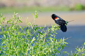 Red-Winged Blackbird Perched in a Tree — Foto de Stock