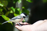 Black-Capped Chickadee Eating Seed from a Hand — Foto de Stock