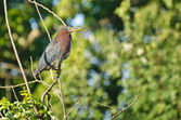 Green Heron Perched in Tree — Foto de Stock