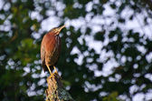 Green Heron Perched on a Stump — Foto de Stock