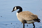 Canada Goose Wading in the Water — Photo