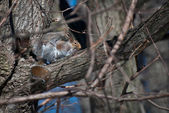 Mating Squirrels in Spring — Stockfoto