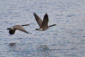 Geese Flying Over Water — 图库照片