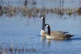 Two Swimming Canada Geese — Foto de Stock