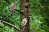Pair of House Finch Perched in a Tree — Stok fotoğraf
