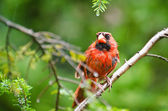 Northern Cardinal in the Rain — 图库照片