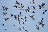 Large Flock of Geese Taking Flight — Stock Photo