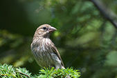 Female House Finch Perched in a Tree — Stockfoto