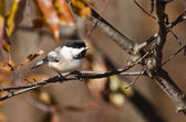 Black-Capped Chickadee perched on a branch in Autumn — Foto Stock