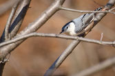 White Breasted Nuthatch Peering Through the Branches — Stock Photo