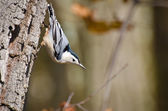 White-Breasted Nuthatch Clinging to Tree — Stock Photo