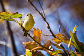 Singing Ruby-Crowned Kinglet — Stock Photo