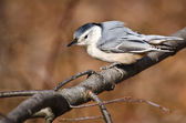 White Breasted Nuthatch Perched on a Branch — Photo