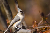 Tufted Titmouse in Autumn — Stockfoto