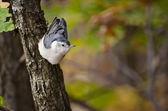 White-Breasted Nuthatch clinging to a tree surrounded by autumn colors — Stock Photo