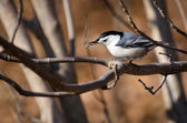 White Breasted Nuthatch Eating a Seed — Stock Photo