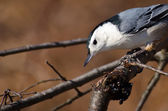 White Breasted Nuthatch Perched on a Branch — Stock Photo