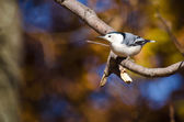 White-Breasted Nuthatch in Autumn — Stockfoto