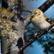 AmericGoldfinch Perched in Tree — Stock Photo #37207137