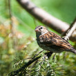 Sparrow Perched in Tree — Stock Photo #37207315