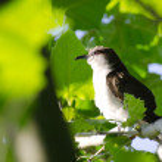 Northern Mockingbird in a Tree — Stock Photo