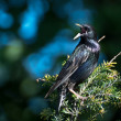EuropeStarling Perched in Tree — Stock Photo #37207777