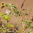 Pair of White-Crowned Sparrow Perched in Thorny Bush — Stock Photo #37207981