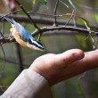 Foto de Stock  : Red Breasted Nuthatch Being Fed from Hand