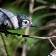 Immature Blue Jay in Tree — Stock Photo