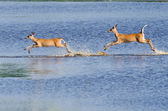 Two Startled Deer Running and Leaping Through the Water — Stock Photo
