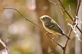 Ruby Crowned Kinglet Perched in Tree — Stockfoto