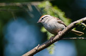 Chipping Sparrow Perched in a Tree Against a Light Blue Background — Zdjęcie stockowe