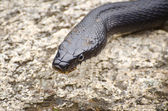 Black Rat Snake Close Up — Stock Photo