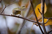 Ruby-Crowned Kinglet Focused on Insect — Stock Photo
