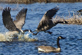 Fighting Canada Geese — Stock Photo