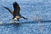 Canada Goose Taking to Flight — Stock Photo