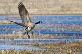 Canada goose nemen naar vlucht — Stockfoto
