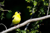 Singing American Goldfinch Perched in a Tree — Foto de Stock