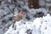 Male House Finch Perched in the Snow — Zdjęcie stockowe