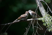 Young Chirping Sparrow Being Fed by Parent — Stock Photo
