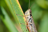 Grasshopper Clinging to a Blade of Grass — Zdjęcie stockowe