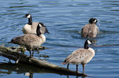 Four Canada Geese Resting in the Blue Water — Stock Photo