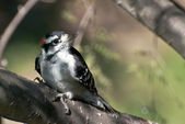 Downy Woodpecker Perched in a Tree — Stock Photo