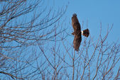 Fêmea northern harrier voando sobre as árvores — Foto Stock
