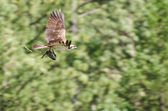 Osprey In Flight Carrying a Fish — Stock Photo