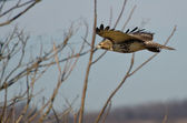 Red-Tailed Hawk Flying with Fingertips Flared — Stock Photo