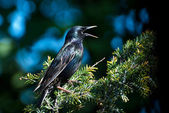 European Starling Perched and Singing in a Tree — 图库照片